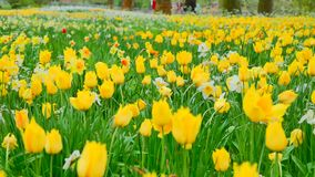 Multi yellow coloured tulips on nature background, serenity. Slider shot. Close up.  stock footage