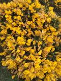 Multi yellow gorse flowers angled shape Stock Photo