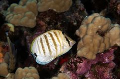 Multiband Butterfly Fish Stock Images
