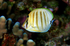 Multibanded Butterfly Fish Royalty Free Stock Images