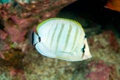 Multibar butterflyfish Stock Photography