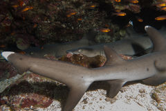 Multible whitetip sharks sleeping. Whitetip Shark in Cocos Island Costa Rica royalty free stock photos
