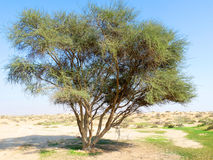 Multibranch Tree in Desert Area. Alone Tree in Desert with blue sky in the background Stock Photography