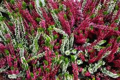 Multicolor вереск (цветок) на рынке Стоковые Изображения RF