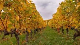 Multicolor виноградник на осени 11 Стоковые Фотографии RF