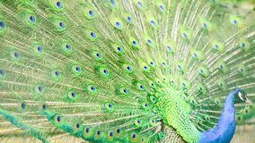Multicolor кабель павлина сток-видео