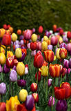 Multicolor тюльпаны в цветени Стоковое Изображение RF