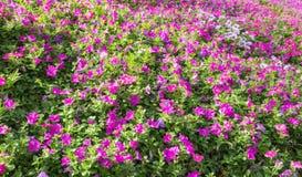 Multicolor цветков петуньи на гористых местностях Камерона Стоковое Фото