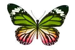 Бабочка изолированная на белизне multicolor насекомое тропическое животное шаблон для дизайна стоковые изображения