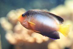 Multicolor angelfish Royalty Free Stock Photos