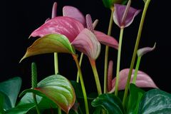 Multicolor anthurium flamingo flower stock image