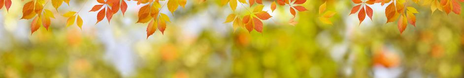 Autumn nature background with red leaves and blurred backdrop. Wide panorama format for banner or border