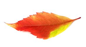 Multicolor autumn leaf Royalty Free Stock Photo