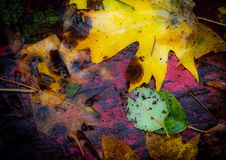 Multicolor autumn leaves scattered in disarray. A scattering of multicolored autumn leaves of varying shapes and sizes royalty free stock photo