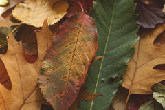 Multicolor autumn leaves Stock Photography