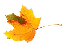 Multicolor autumn maple leaf Royalty Free Stock Photos