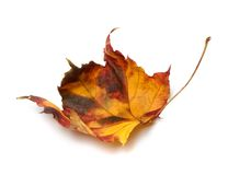 Multicolor autumn maple-leaf Royalty Free Stock Images