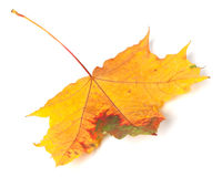 Multicolor autumn maple-leaf on white background Stock Images