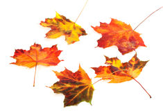 Multicolor autumn maple-leafs on white background Stock Images