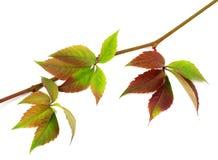 Multicolor autumn twig of grapes leaves, parthenocissus quinquef Royalty Free Stock Photo