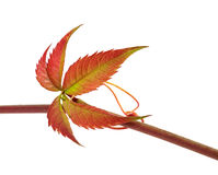 Multicolor autumn twig of grapes leaves, parthenocissus quinquef Royalty Free Stock Photography