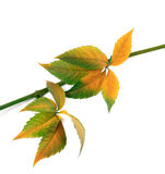 Multicolor autumn twig of grapes leaves, parthenocissus quinquef Stock Image