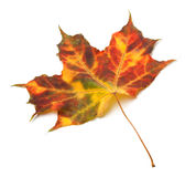 Multicolor autumnal maple-leaf Royalty Free Stock Photography