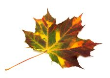Multicolor autumnal maple leaf Royalty Free Stock Images