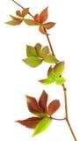 Multicolor autumnal twig of grapes leaves, parthenocissus quinqu Royalty Free Stock Photos