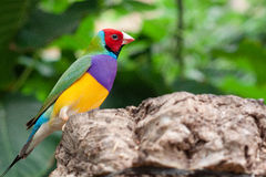 Multicolor bird. Sitting on the wood with leaves background Royalty Free Stock Photo