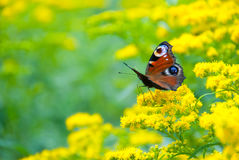 Multicolor butterfly. Sitting on a yellow flower Stock Image