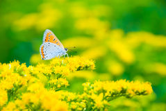Multicolor butterfly. Multicolor spotted butterfly sitting on a yellow flower Stock Photo