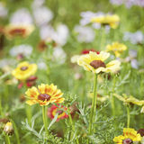 Multicolor Camomile Flowers on Green Grass. Summer Sunlight Scene: Multicolor Chamomile Flowers on Green Grass Background Stock Photography