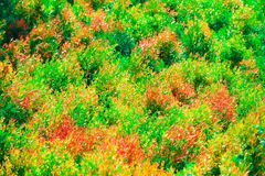 multicolor of christina leaves and red young leaves was born in thr garden stock photo