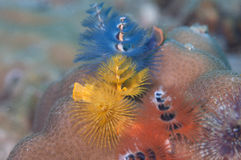 Multicolor christmas tree worms Stock Photos