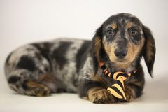 Multicolor Dachshund Puppy. Small multicolor dachshund puppy sitting on a brick in the grass Royalty Free Stock Photo