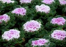 Multicolor decorative cabbage in blossom Stock Image