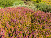 Multicolor field of heather Royalty Free Stock Photo
