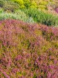 Multicolor field of heather Stock Image