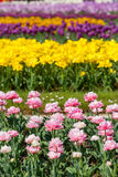 Multicolor field tulips Royalty Free Stock Photography