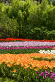 Multicolor field tulips Royalty Free Stock Image