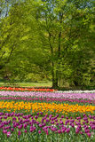 Multicolor field tulips Royalty Free Stock Photo