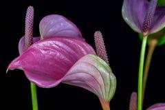 Multicolor flamingo flower royalty free stock photos