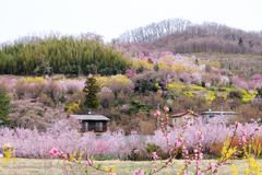 Multicolor flowering trees covering the hillside,Hanamiyama Park,Fukushima,Tohoku,Japan. stock photography
