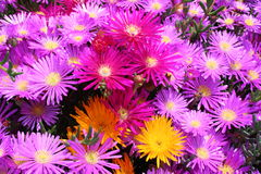Multicolor flowers blooming in Spring. royalty free stock image