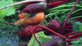Multicolor fresh vegetables carrots and beets on green grass during a heavy shower rain with a breeze. Shallow depth of the field. Toned video, 50fps stock video footage
