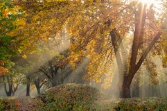 Golden autumn. natural sun rays in a light morning fog make their way through branches and lined trees in an autumn city park. Multicolor golden autumn. Natural stock photography