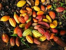 Multicolor kakaowe owoc Fotografia Royalty Free