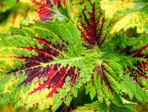 Multicolor Leaves Abstract Nature Background - Hybrid Coleus Blumei - Plectranthus Scutellarioides. This is an abstract nature background containing multicolor Royalty Free Stock Photography
