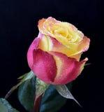 Multicolor levantou-se Imagens de Stock Royalty Free